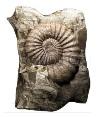 Fossil chambered nautilus